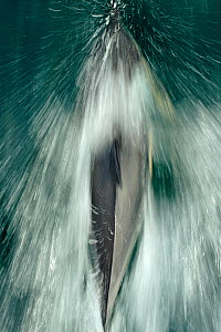 Common dolphin (Delphinus delphis) bow-riding, near South Uist, Outer Hebrides, Scotland, UK, June  -  Chris Gomersall / 2020VISION