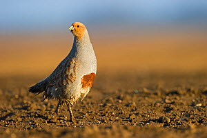 Grey Partridge (Perdix perdix) on a bare field, Norfolk, England, UK, April. Did you know? Partridges have the largest number of eggs in a clutch of any bird species, the highest number recorded being... - David Tipling / 2020VISION