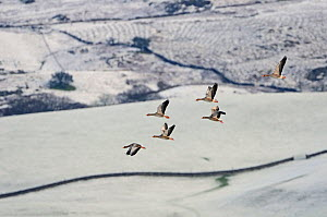 Small flock of Greylag geese (Anser anser) flying over snow covered fields, Ken-Dee Marshes RSPB reserve, Dumfries and Galloway, Scotland, UK, December  -  David Tipling / 2020VISION