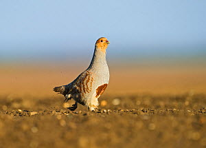 Grey Partridge (Perdix perdix) on a bare field, scraping for food, Norfolk, England, UK, April. 2020VISION Exhibition. 2020VISION Book Plate.  -  David Tipling / 2020VISION
