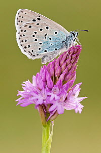 Large blue butterfly (Phengaris arion) resting on Pyramidal orchid (Anacamptis pyramidalis) flower, Collard Hill, Somerset, England, UK, June 2011 - Ross Hoddinott / 2020VISION