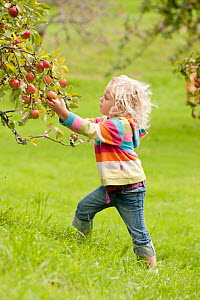 Young girl picking apples (Malus domestica) growing in traditional orchard at Cotehele National Trust property, Cornwall, England, UK, August 2011. Model released.  -  Ross Hoddinott / 2020VISION