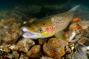 Female Atlantic salmon (Salmo salar) showing breeding colours in the River Itchen, where she has recently spawned after capture and release by the Environment Agency in connection with a breeding prog...  -  Linda Pitkin / 2020VISION