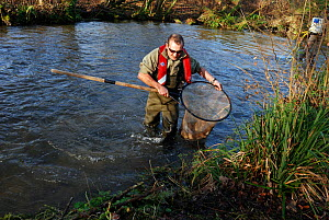 Environment Agency staff David Hunter catching Atlantic salmon (Salmo salar) in connection with a breeding programme, the fish are released soon after catching, River Itchen, Hampshire, England, UK, J...  -  Linda Pitkin / 2020VISION