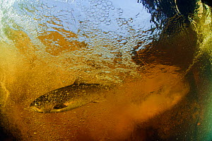 Brown trout (Salmo trutta) in turbulent water at a weir, River Ettick, Selkirkshire, Scotland, UK, October  -  Linda Pitkin / 2020VISION
