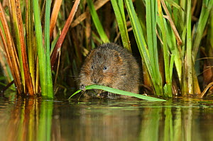 Water vole (Arvicola amphibius / Arvicola terrestris) feeding amongst vegetation, Kent, England, UK, February  -  Terry Whittaker / 2020VISION