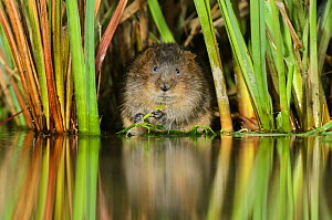 Water vole (Arvicola amphibius / Arvicola terrestris) feeding amongst vegetation, Kent, England, UK, February. 2020VISION Exhibition. 2020VISION Book Plate. Did you know? The character 'Ratty' from Ke...  -  Terry Whittaker / 2020VISION