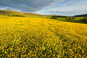 Creeping buttercup (Ranunculus repens) covering an unimproved field, Cromdale, Cairngorms NP, Scotland, UK, June - Mark Hamblin / 2020VISION