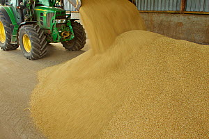 Harvested Barley (Hordeum vulgare) grain being unloaded into a storage barn, Scotland, UK, September - Mark Hamblin / 2020VISION