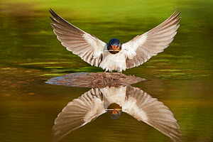 Barn swallow (Hirundo rustica) alighting at pond, collecting material for nest building, Scotland, UK, June. Did you know? Barn swallows will feed their nestlings up to 400 times every day. - Mark Hamblin / 2020VISION