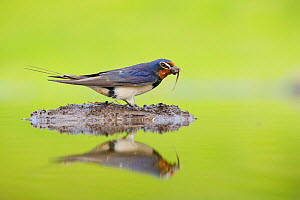 Barn swallow (Hirundo rustica) collecting material for nest building, Scotland, UK, June - Mark Hamblin / 2020VISION