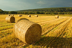 Bales of Barley straw on arable farmland, Scotland, UK - Mark Hamblin / 2020VISION