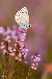 Common blue butterfly (Polyommatus icarus), resting on flowering heather, Arne RSPB reserve, Dorset, England, UK September  -  Ross Hoddinott / 2020VISION