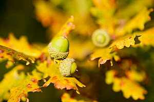 Close up of acorns and autumnal foliage ofEnglish oak (Quercus robur), Arne RSPB reserve, Dorset, England, UK, September. Did you know? Acorns are not produced until the tree is at least 40 years old.  -  Ross Hoddinott / 2020VISION