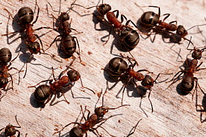 Wood ants (Formica rufa), Arne RSPB reserve, Dorset, England, UK, September. 2020VISION Book Plate. Did you know? Wood ants are ecologically important, protecting trees from parasites and recycling nu... - Ross Hoddinott / 2020VISION