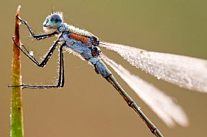Emerald damselfly (Lestes sponsa), Arne RSPB reserve, Dorset, England, UK, September. 2020VISION Book Plate. Did you know? An adult female Emerald Damselfly can stay underwater for 30 minutes whilst l... - Ross Hoddinott / 2020VISION
