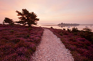 Path running through Common heather (Calluna vulgaris) in flower, with Brownsea Island in the distance, Arne RSPB reserve, Dorset, England, UK, July - Ross Hoddinott / 2020VISION