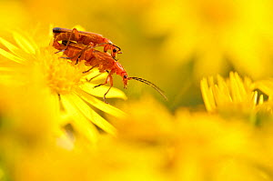 Pair of mating soldier beetles (Rhagonycha fulva) on Common ragwort (Senecio jacobaea), Arne RSPB reserve, Dorset, England, UK, August. Did you know? In some areas this insect is called the �bloodsuck... - Ross Hoddinott / 2020VISION