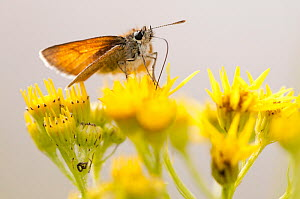 Large skipper (Ochlodes sylvanus) butterfly feeding on Common ragwort (Senecio jacobaea), Arne RSPB reserve, Dorset, England, UK, August. Did you know? Butterflies can taste with their feet. - Ross Hoddinott / 2020VISION