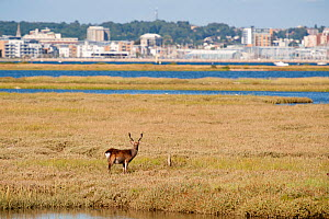 Sika deer (Cervus nippon) stag on salt marsh at Arne RSPB reserve, with Poole harbour visible in the background, Dorset, England, UK, August  -  Ross Hoddinott / 2020VISION