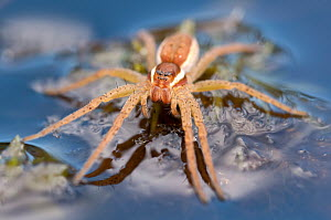 Raft spider (Dolomedes fimbriatus) on water, Arne RSPB reserve, Dorset, England, UK, July. 2020VISION Book Plate. Did you know? Raft spiders trap air bubbles close to their body when they submerge, al... - Ross Hoddinott / 2020VISION