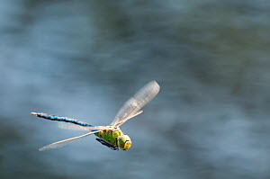 RF- Male Emperor Dragonfly (Anax imperator) in flight, Arne RSPB reserve, Dorset, England, UK, July. Did you know? Dragonflies spend up to six years as drab aquatic nymphs for only a few weeks as colo...  -  Ross  Hoddinott / 2020VISION