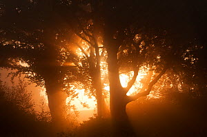 Sun rising through trees and mist, Arne RSPB reserve, Dorset, August. Did you know? Over half the area of Dorset is a listed as an 'Area of Outstanding Natural Beauty'. - Ross Hoddinott / 2020VISION