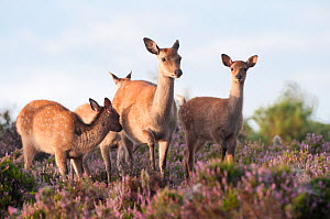 Sika deer (Cervus nippon) amongst flowering heather, Arne RSPB reserve, Dorset, England, UK, August. Did you know? Sika deer are surprisingly good swimmers and can swim for up to 12km. - Ross Hoddinott / 2020VISION