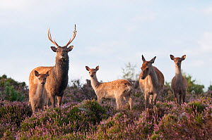Sika deer (Cervus nippon), stag, hind and young, amongst flowering heather, Arne RSPB reserve, Dorset, England, UK, August. Did you know? This East Asian deer's name 'Sika' is the Japanese word for 'd...  -  Ross Hoddinott / 2020VISION