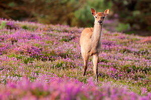 Young Sika deer (Cervus nippon) standing amongst flowering heather, Arne RSPB reserve, Dorset, England, UK, August. 2020VISION Book Plate.  -  Ross Hoddinott / 2020VISION