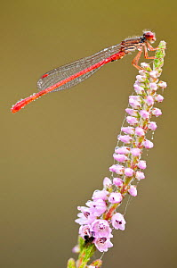 Small red damselfly (Ceriagrion tenellum) covered in dew, Arne RSPB reserve, Dorset, England, UK, August  -  Ross Hoddinott / 2020VISION