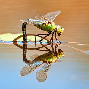 Female Emperor dragonfly (Anax imperator) laying eggs, Cornwall, England, UK, April - Ross Hoddinott / 2020VISION