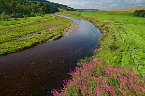 Landscape view of the River Whiteadder, a tributary of the River Tweed, with two scientists walking along the bank carrying electro fishing equipment to monitor population, density and health of Atlan...  -  Rob Jordan / 2020VISION