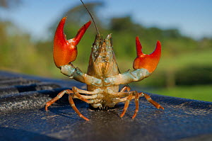 Signal crayfish (Pacifastacus leniusculus) in a defensive posture after being caught by The Tweed Foundation monitoring the species population and spread on the River Till, Northumberland, England, UK...  -  Rob Jordan / 2020VISION