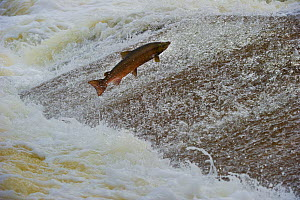 Atlantic salmon (Salmo salar) leaping up the cauld at Philphaugh Salmon Viewing Centre near Selkirk, where members of the public can view the spectacle, Selkirkshire, Scotland, UK, October 2011  -  Rob Jordan / 2020VISION