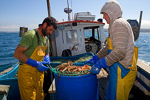 Fishermen aboard a small fishing boat packing a container full of Spiny spider crabs (Maja Squinado), caught using tangle nets, Cornwall, England, UK, June 2011 - Toby Roxburgh / 2020VISION