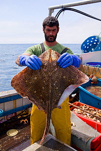 Fisherman holding a Blonde ray (Raja brachyura), caught using tangle net aboard a fishing boat, St. Ives, Cornwall, England, UK, June 2011  -  Toby Roxburgh / 2020VISION