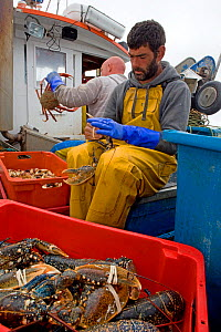 Fisherman binding the claws of European lobsters (Homarus gammarus) caught using a tangle net, St. Ives, Cornwall, England, UK, June 2011, Model released. - Toby Roxburgh / 2020VISION
