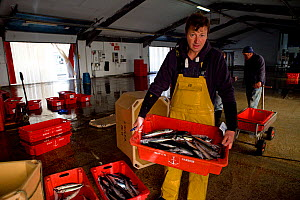 Fisherman Andrew Pascoe holding a crate of handline caught Atlantic mackerel (Scomber scombrus) at Newlyn fish auction, Cornwall, England, UK, April 2011 Model released - Toby Roxburgh / 2020VISION