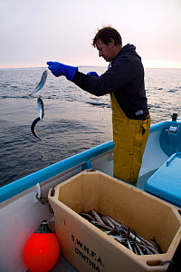 Fisherman handlining for Atlantic mackerel (Scomber scombrus) from a small boat, Newlyn, Cornwall, England, UK, April 2011 Model released  -  Toby Roxburgh / 2020VISION