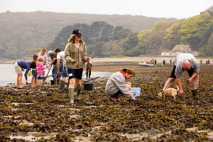 People collecting Edible cockles (Cerastoderma edule) by rake from the shore in a traditional Good Friday pastime known as trigging, Helford Passage, Cornwall, England, UK, April 2011 Model released - Toby Roxburgh / 2020VISION