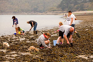 "People collecting Edible cockles (Cerastoderma edule) by rake from the shore in a traditional Good Friday pastime known as ""trigging"", Helford Passage, Cornwall, England, UK, April 2011 Model released... - Toby Roxburgh / 2020VISION"