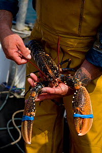 Fisherman holding a European lobster (Homarus gammarus) with bound claws, freshly caught using pots from 'Rhiannon', a crabber based in Porthleven, Cornwall, England, UK April 2011  -  Toby Roxburgh / 2020VISION