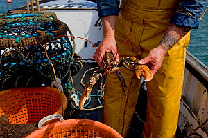 Fisherman holding a European lobster (Homarus gammarus), freshly caught using pots from 'Rhiannon', a crabber based in Porthleven, Cornwall, England, UK, April 2011  -  Toby Roxburgh / 2020VISION