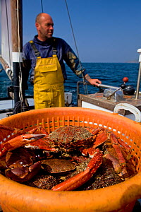 Fisherman heading back to port with a full basket of Edible crabs (Cancer pagurus) and Spiny spider crabs (Maja squinado), caught using pots from 'Rhiannon', a crabber based in Porthleven, Cornwall, E...  -  Toby Roxburgh / 2020VISION