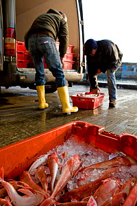 Buyers loading crates of Red gurnard (Aspitrigla cuculus) into a van after the fish auction at Newlyn Harbour, Cornwall, England, UK, February 2011  -  Toby Roxburgh / 2020VISION