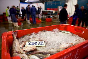 Crate of fish at Newlyn Harbour fish auction, Cornwall, England, UK, March 2011  -  Toby Roxburgh / 2020VISION