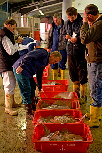 Buyers inspecting crates of freshly caught fish at Newlyn Harbour fish auction, Cornwall, England, UK, March 2011  -  Toby Roxburgh / 2020VISION