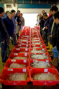 Buyers bidding for crates of freshly caught fish at Newlyn Harbour fish auction, Cornwall, England, UK, March 2011 - Toby Roxburgh / 2020VISION