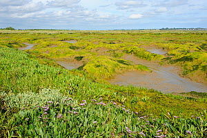 Common sea lavender (Limonium vulgare) and Common glasswort (Salicornia europaea) on saltmarsh, Abbotts Hall Farm Nature Reserve, Essex, England, UK  -  Terry Whittaker / 2020VISION